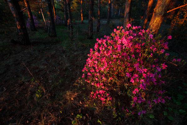 Daurischer Rhododendron (Rhododendron dauricum)