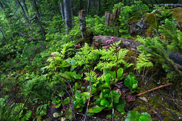 Dickblatt-Bergenie (Bergenia crassifolia)