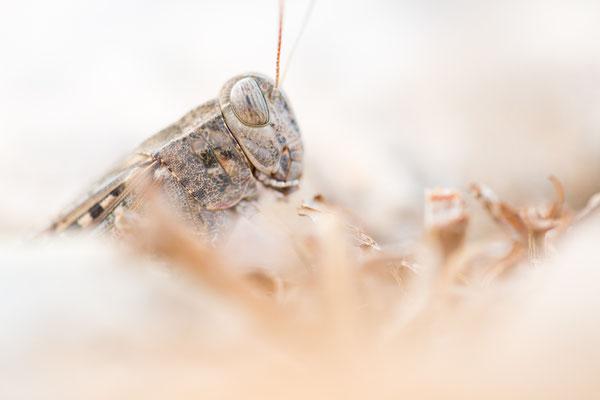 Italienische Schönschrecke (Calliptamus italicus)