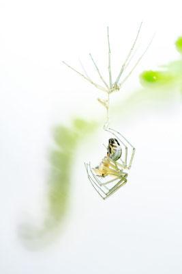 Spinne nach Häutung