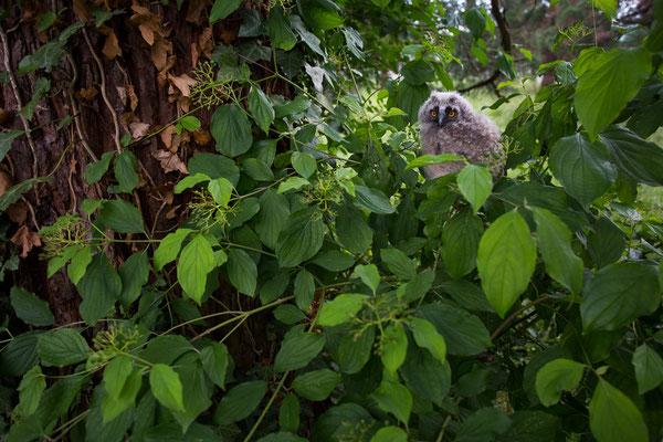 Waldohreule-Ästling