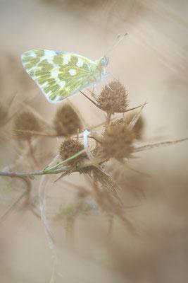Westlicher Resedaweißling (Pontia daplidice)