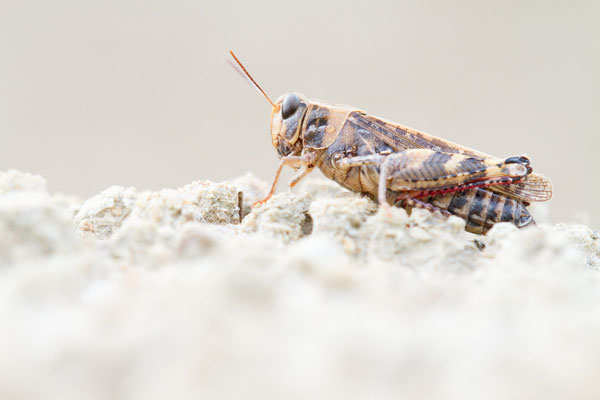 Italienische Schönschrecke - Calliptamus italicus
