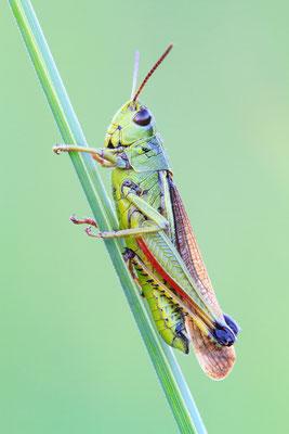Sumpfschrecke - Stethophyma grossum