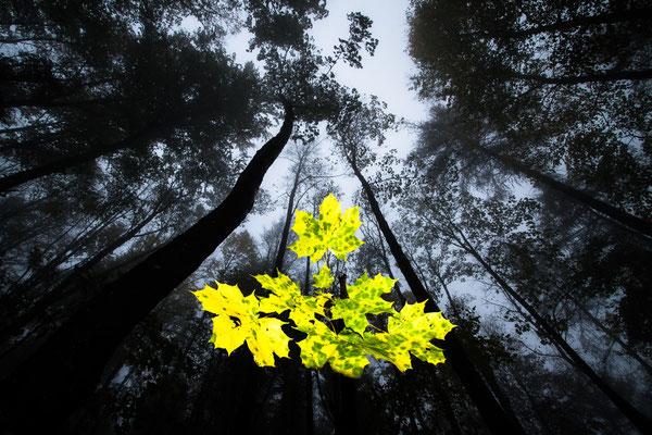 Ahorn im Nebelwald