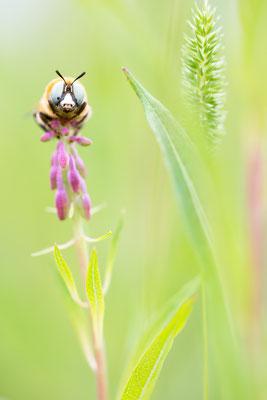 Schwebebiene (Melitturga sp.)