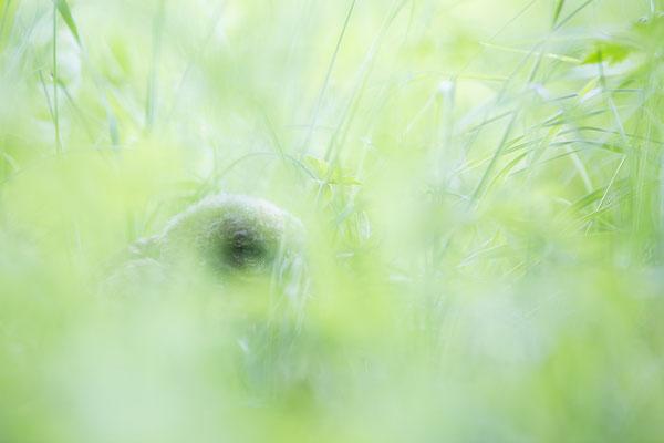 Junger Steinkauz im Gras