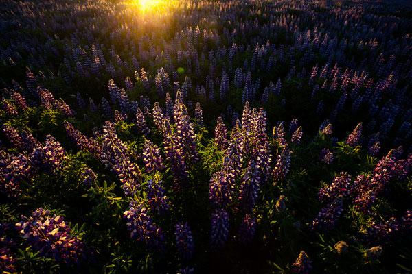 Lupinen bei Sonnenaufgang