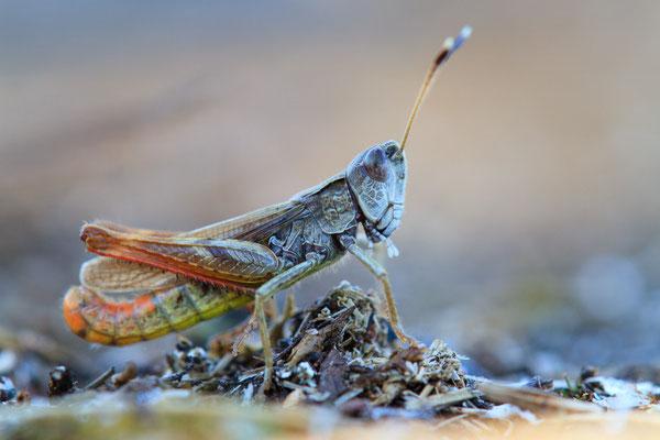 Rote Keulenschrecke - Gomphocerippus rufus