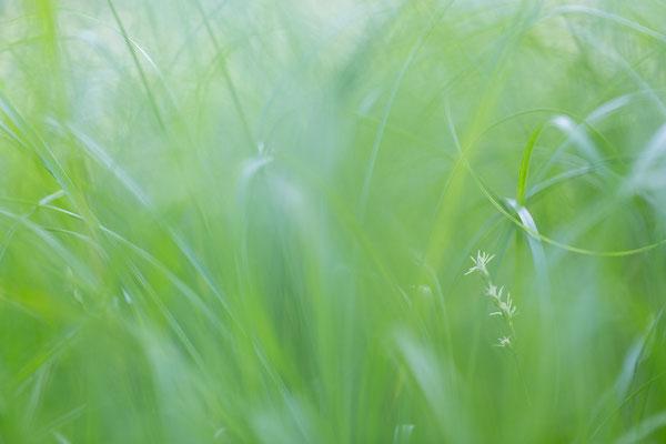 Zittergras-Segge (Carex brizoides)