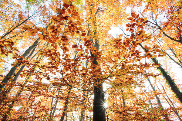 Herbstliche Buchen