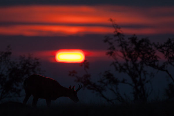 Gämse bei Sonnenaufgang