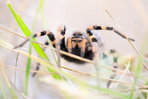 Apulische Tarantel (Lycosa tarantula)