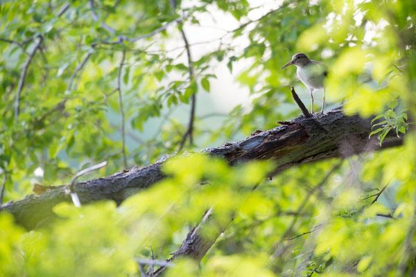 Flussuferläufer (Actitis hypoleucos)