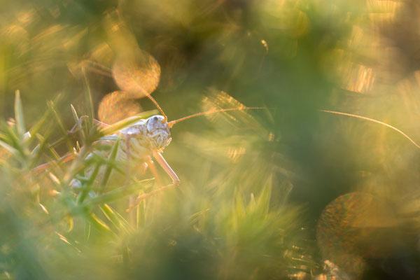 Steppen-Sattelschrecke (Ephippiger ephippiger)