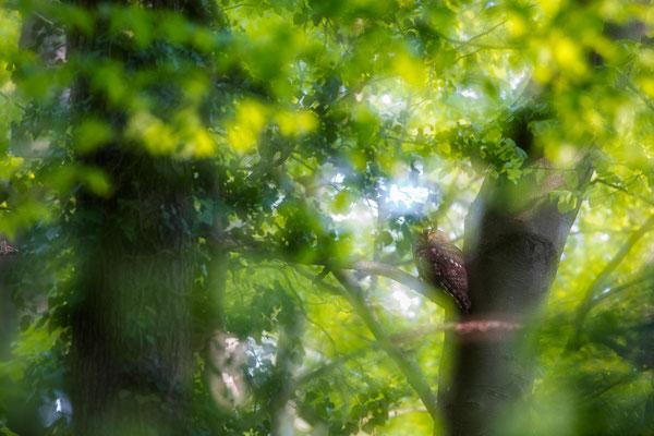 Märchenhafter Waldkauz