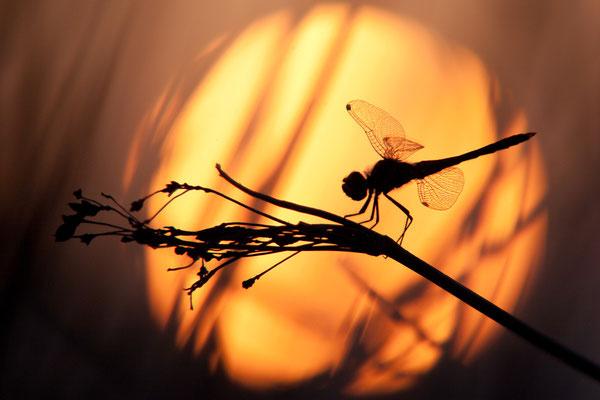 Frühe Heidelibelle