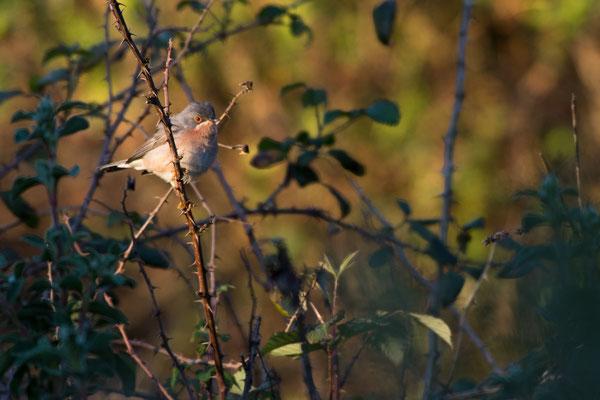 Moltoni-Bartgrasmücke