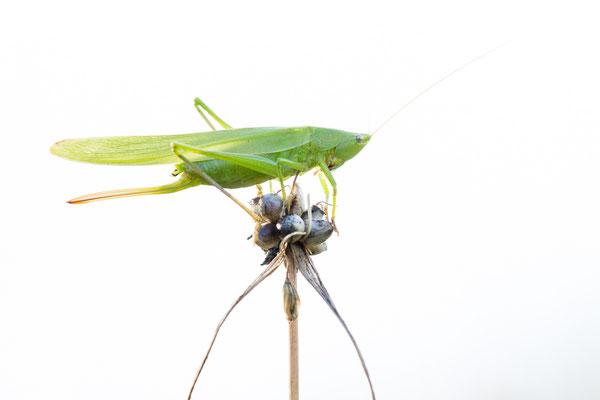 Schiefkopfschrecke - Ruspolia nitidula