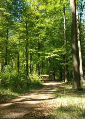 Buchen prägen den Wald im NSG Winkel. Nächster Ort ist Friedrichswalde.