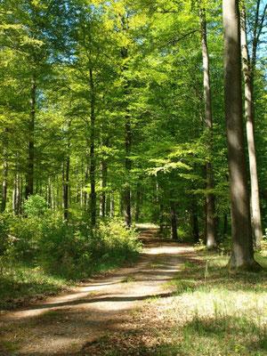 """Herrlicher Buchenwald. - Weg zum Naturschutzgebiet """"Winkel"""". Ein besonders interessantes Gebiet."""