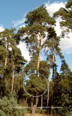 Kiefernwald - seltener Hexenbesen (im Buch)