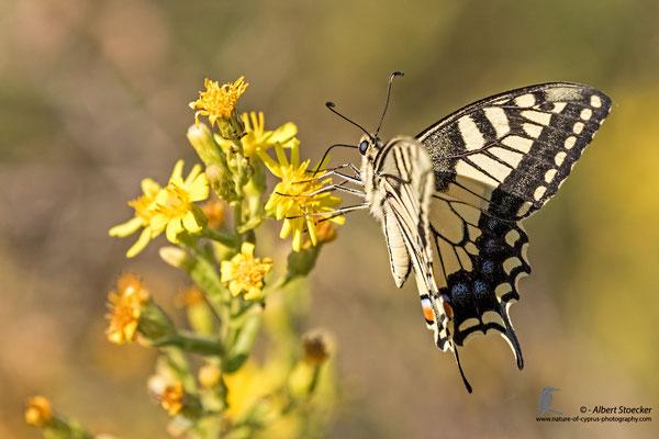 Papilio machano giganteus - Schwalbenschwanz, , Cyprus, Mandria Beach, Oktober 2016, EOS 7D2, EF100-400 II, Freihand