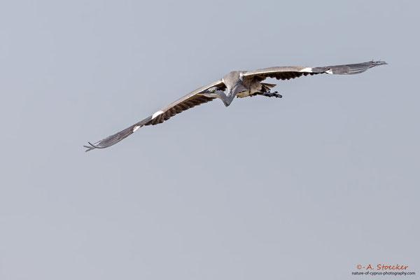 Graureiher - Grey Heron, Cyprus, Akrotiri - Zakaki Pool, 02. Dezember 2017