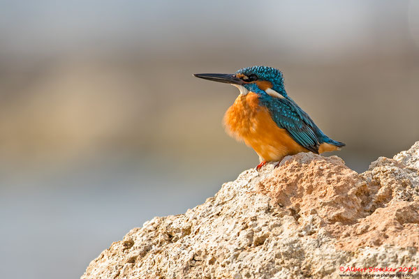 Eisvogel, Common Kingfisher, Alcedo atthis, Cyprus, Paphos - Kefalos Beach, April 2019