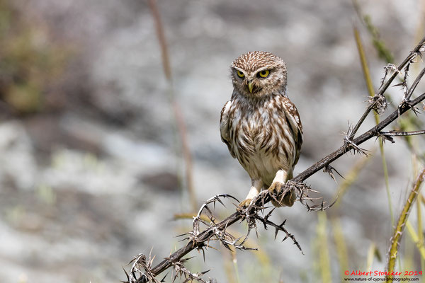 Steinkauz, Little Owl, Athene noctua, Cyprus, Paphos - Anarita Park, Breeding Place, April 2019