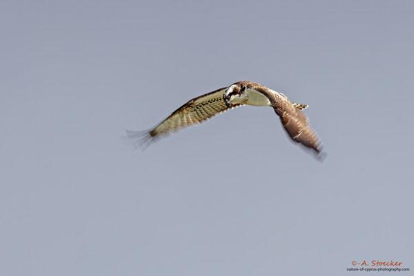 Fischadler - Osprey, Cyprus, Achna Dam, 21.November 2017