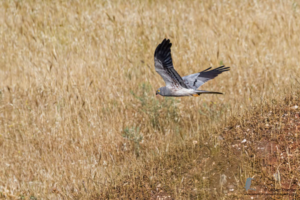 Wiesenweihe, Montagu`s Harrier, male, Circus macrourus, Cyprus, Paphos-Anarita Area, 5. Mai 2017