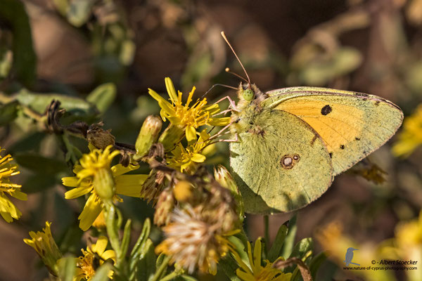 Colias croceus - pale clouded yellow - Goldene Acht, Cyprus, Mandria Beach, Oktober 2016, EOS 7D2, EF100-400 II, Freihand