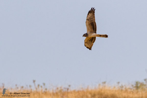 Wiesenweihe, Montagu`s Harrier, female, Circus macrourus, Cyprus, Paphos-Anarita Area, 5. Mai 2017