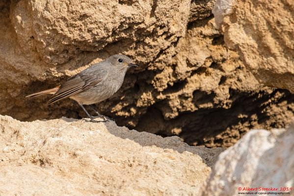 Hausrotschwanz, Black Redstart, Phoenicurus ochruros, Cyprus, Paphos - Kefalos Beach, April 2019
