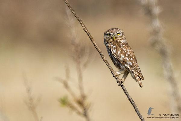 Steinkauz, Little Owl, Athene noctua, Cyprus, Paphos-Anarita Area, 5. Mai 2017