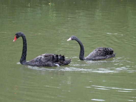 Schwarze Schwäne im Keyuan-Garten.