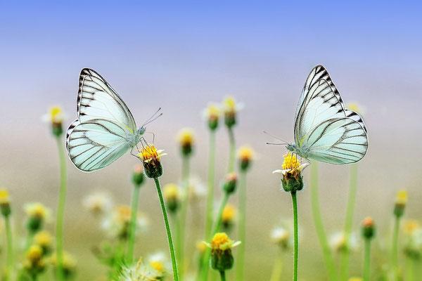 Deux papillons sur deux fleurs