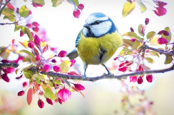 Mésange au printemps