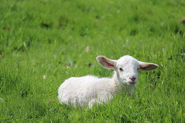Agneau dans l'herbe