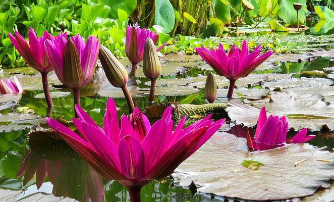 Fleurs de lotus fuschia