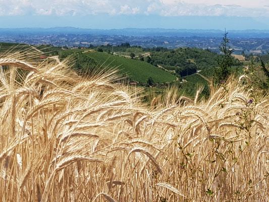 Blick durch reife Kornfelder