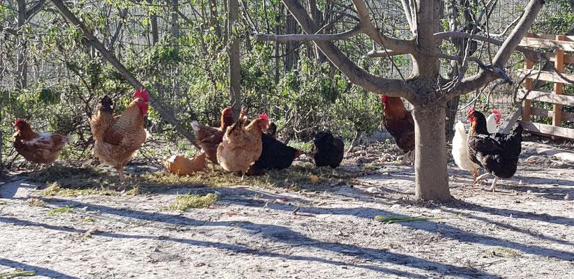 Ab und zu auch ein Hühnerhof mit Gockel - es ist ja bald Ostern