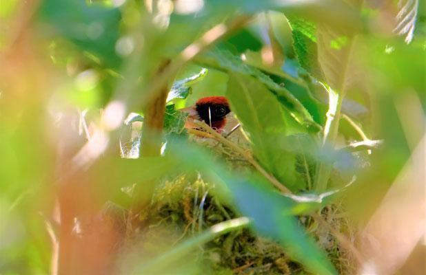 Stieglitz im Nest - Foto: Thomas Kemmel