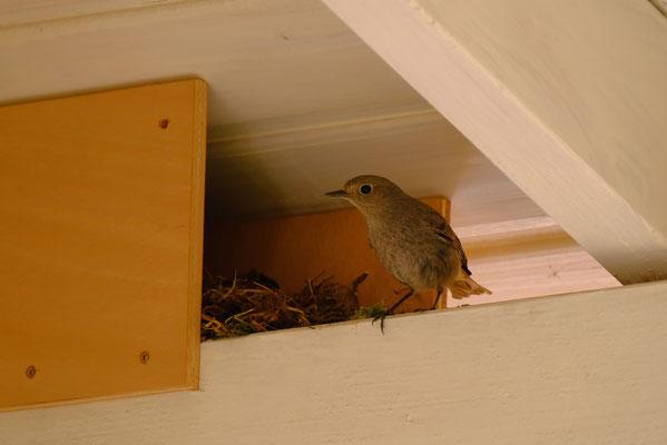 Hausrotschwanz-Weibchen unter dem Vordach - Foto: Thomas Kemmel