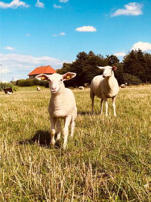 Bio Schafe auf Weide