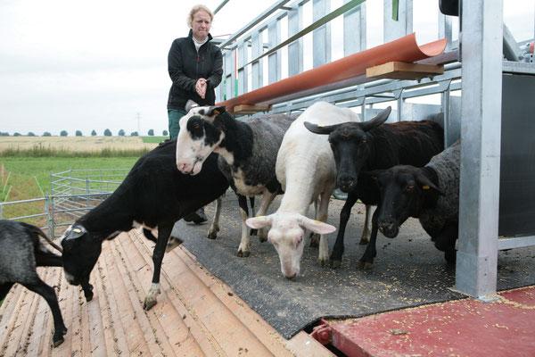 Abgang vom mobilen Schafmelkstand