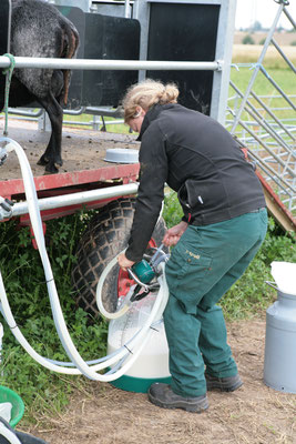 Kannenmelken auf mobilen Schafmelkstand