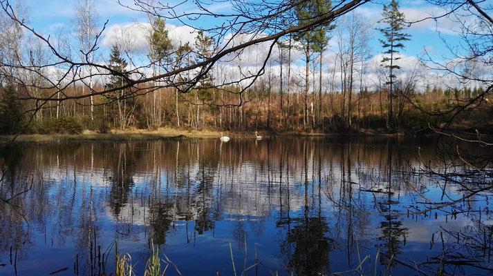 Tanzende Schwäne auf einem Waldsee