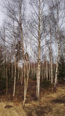 Immer mehr Birken - die Vegetation wird nordischer
